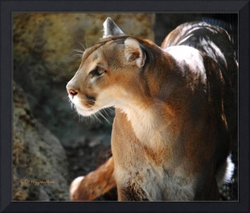 Intense Mountain Lion