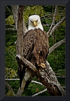 Bald Eagle Stare Down