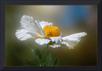 White Matilija Poppy in Porter Ranch