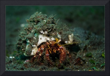 White spotted hermit crab