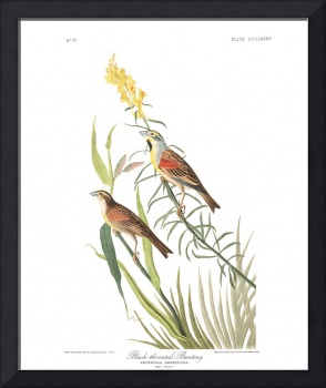 Black Throated Bunting, Plate 384