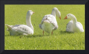 Group of White Geese Resting on the Grass