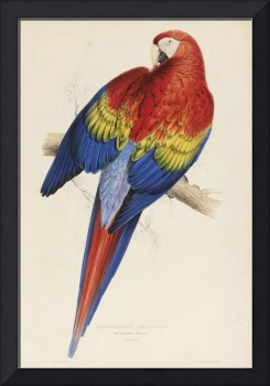Vintage Illustration of a Macaw Parrot (1832)