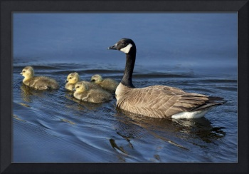 Canada Goose Swimming With Newborn Gosling Chicks,