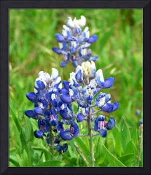 Texas Bluebonnet Wildflowers1100067