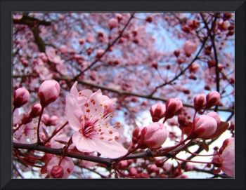 SKY Blue Skies Pink Tree Blossoms 10 Art Prints