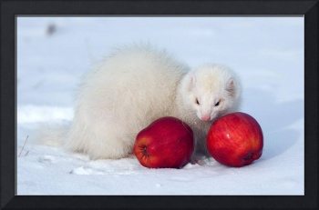 White Ferret Finds Apples In The Snow