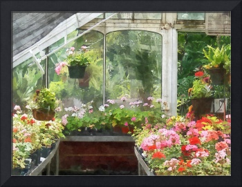 Geraniums in Greenhouse