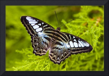 Clipper Butterfly (Pathernos sylvia)