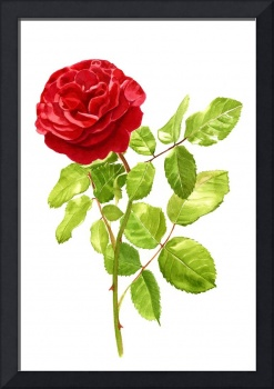 Brilliant Red Rose on a Stem (white background)