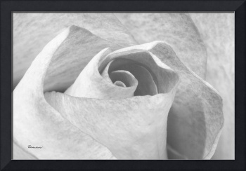 A Rose is a Rose Black and White Floral Photo 753