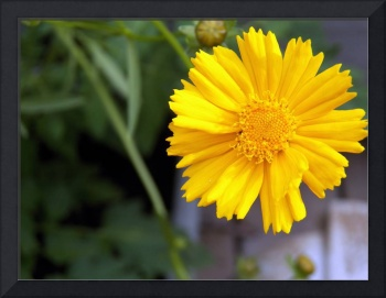 A Yellow Flower On My Deck