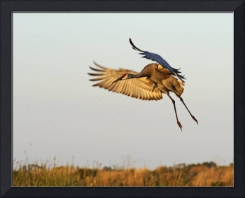 Sandhill Crane Lands at Sunset
