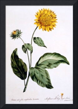 Sunflower with large jagged leaves