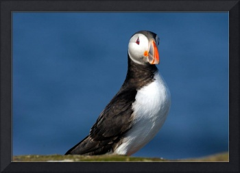 Smilling Puffin
