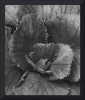 Ornamental Cabbage Blossom -InfraRed