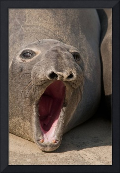 Barking Elephant Seal