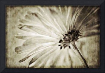 The Antique Daisy