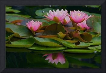 Hardy Pink Water Lilies
