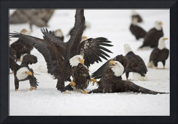 Two Adult Bald Eagles Fight On A Herring Fish, Ala