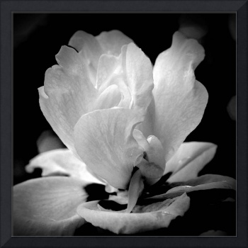 Blossom In Black and White