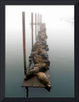 sea lions in fog