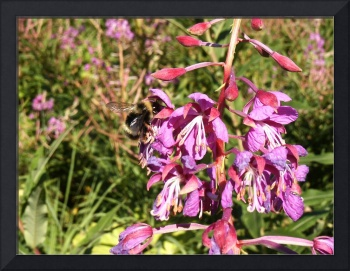 Bumble Bee and Fireweed