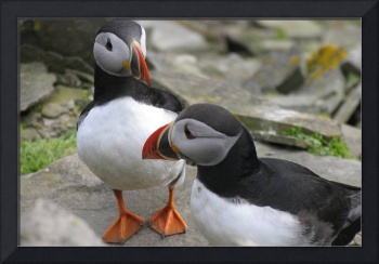 Puffins in conversation, Isle of Noss, Shetland