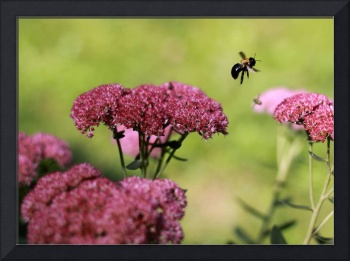 Sedum And Bee