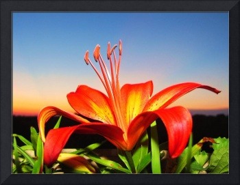 Lilly sunset