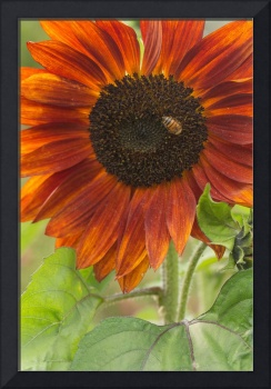 Sunflower to Bee