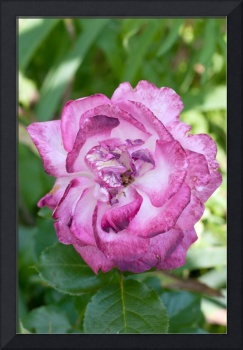 Purple and White Garden Rose