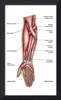 Anatomy of human forearm muscles, superficial ante