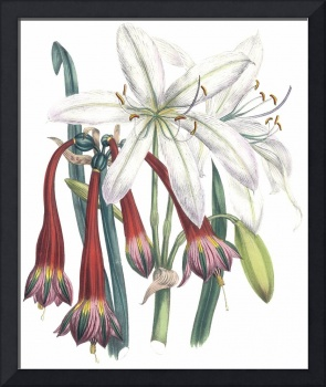 Crinum & Coburghia Flowers by Jane Webb Loudon