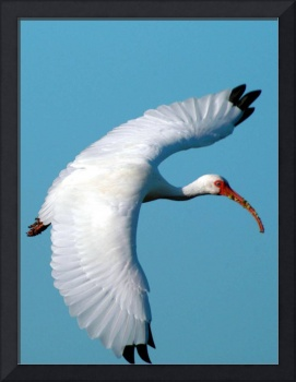 BIRD WHITE IBIS FLYING-TT (2)
