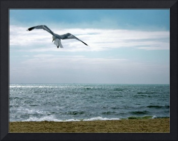 Seagull at Hardings Beach, Chatham- Massachusetts