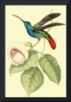 Sickle winged Humming Bird - PD Image