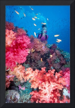Fiji, Diver in background of colorful soft coral r