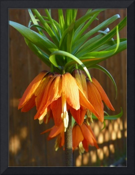 First Morning Sun Rays Red Crown Imperial