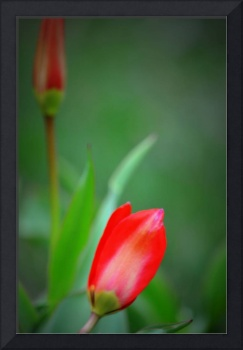 Red Tulip and Bud