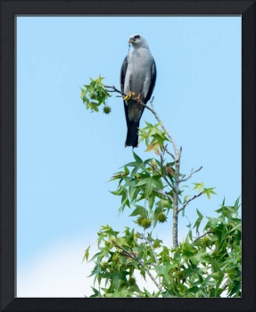 Mississippi Kite on Sugar Maple and Holding Prey