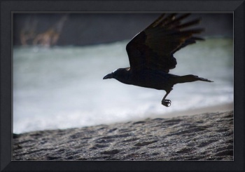 A Common Raven Over the Beach at Tennessee Valley