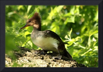 Immature hooded mergansers
