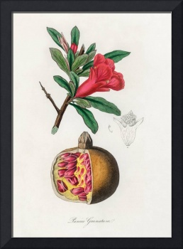 Vintage Botanical The pomegranate