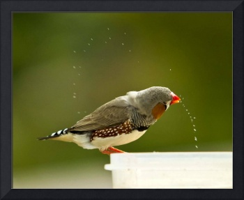 Zebra finch drinking