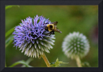 Bee on Globe Thistle 2016