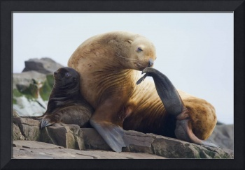 Steller Sea Lion Female And Pup On Rock, Prince Wi