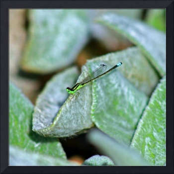 Damselfly on Lamb's Ear plant
