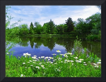 Beauty Pond - Oxeye Daisy
