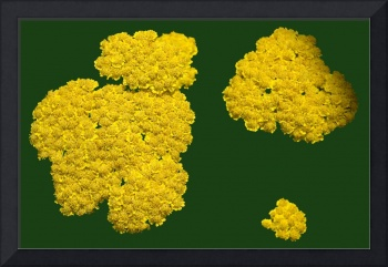 Yellow Sedum Green Background